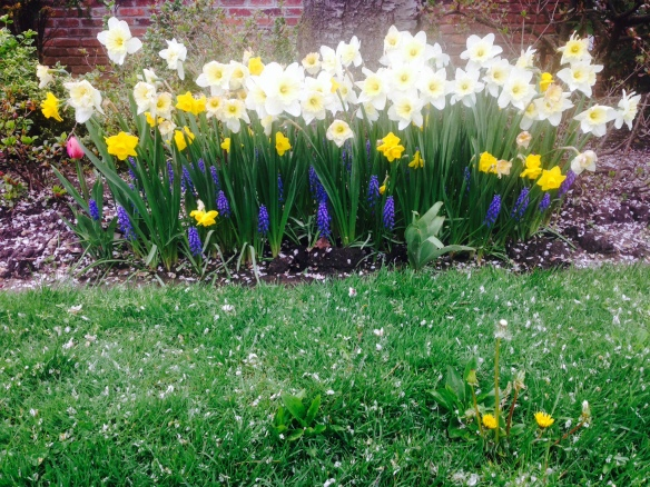 Daffodils (and those pesky dandelions!) bloom in our front garden. I'll nod to that.